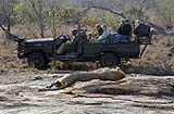 lion - open game drive